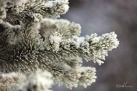 Winter Pine Fine Art Print