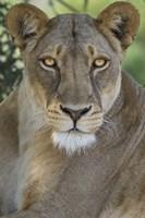 African Lion, Mashatu Reserve, Botswana Fine Art Print