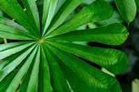 Marantaceae Forest Vegetation Odzala-Kokoua National Park Congo Fine Art Print