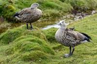 Blue-Winged Goose, Cyanochen Cyanoptera Bale Mountains National Park Ethiopia Fine Art Print