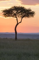 Sunset over Tree, Masai Mara National Reserve, Kenya Framed Print