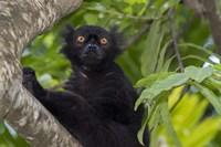 Madagascar Wild Black Lemur Male Fine Art Print
