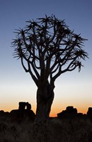 Quiver Tree Forest, Kokerboom at Sunset, Keetmanshoop, Namibia Fine Art Print