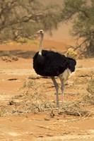 Sossusvlei Male Ostrich, Namib-Naukluft National Park,  Namibia Fine Art Print
