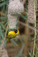 Male Masked Weaver Building a Nest, Namibia Fine Art Print