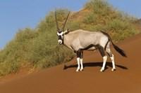 Oryx, Namib-Naukluft National Park, Namibia Fine Art Print