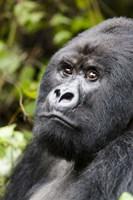 Silverback Mountain Gorilla, Volcanoes National Park, Rwanda Fine Art Print