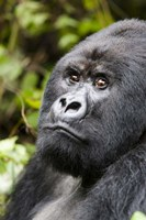 Silverback Mountain Gorilla, Volcanoes National Park, Rwanda Fine Art Print
