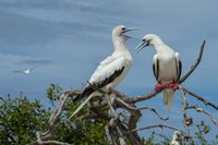 Pair of Red-Footed Boobies, Seychelles Fine Art Print