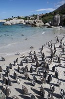 South Africa, Cape Town, Simon's Town, Boulders Beach African Penguin Colony Fine Art Print
