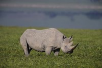 Black Rhinoceros at Ngorongoro Crater, Tanzania Fine Art Print