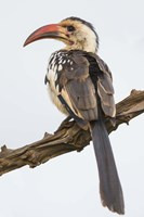 Red-Billed Hornbill, Serengeti National Park, Tanzania Fine Art Print