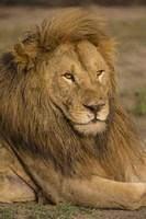 Male African Lion at Ndutu, Serengeti National Park, Tanzania Fine Art Print