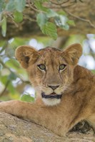 Uganda, Ishasha, Queen Elizabeth National Park Lioness in tTree Fine Art Print