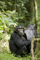 Uganda, Kibale National Park, Young Male Chimpanzee Fine Art Print