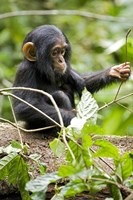 Uganda, Kibale National Park, Infant Chimpanzee Fine Art Print