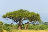 Giraffes Under an Acacia Tree on the Savanna, Uganda Fine Art Print