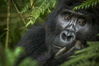 Mountain Gorilla, Bwindi Impenetrable Forest, Uganda Fine Art Print