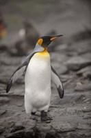 Antarctica, King Penguin Fine Art Print