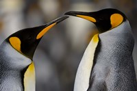 Antarctica, South Georgia, King Penguin Pair Fine Art Print