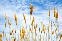 Wheat Blowing in the Wind Fine Art Print