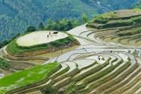 Rice Terrace with Water Buffalo, Longsheng, Guangxi Province, China Fine Art Print
