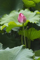 Lotus in a pond, Suzhou, Jiangsu Province, China Fine Art Print