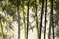 Bamboo Casting Shadows, Suzhou, Jiangsu Province, China Fine Art Print