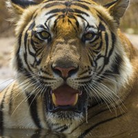 Male Bengal Tiger at Bandhavgarh Tiger Reserve, India Fine Art Print
