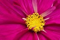 Crimson Pink Cosmos Flower Fine Art Print