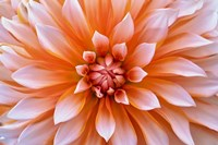 White Orange Dahlia Flower Fine Art Print