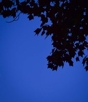 Blue Maple Silhouette Fine Art Print