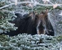 Hello Mr. Moose Fine Art Print