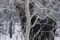 Hiding Moose Fine Art Print