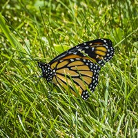 Monarch Fine Art Print