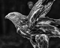 Red Kite Taking Off  - Black & White Fine Art Print