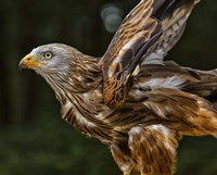 Red Kite Taking Off Fine Art Print