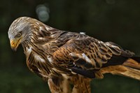 Red Kite Looking Down Fine Art Print