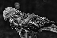 Red Kite Looking Down - Black & White Fine Art Print
