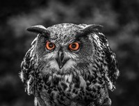 Red Eyed Owl - Black & White Fine Art Print