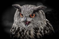 Red Eyed Owl Close Up  - Black & White Fine Art Print