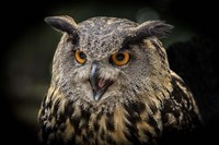Red Eyed Owl Close Up Fine Art Print