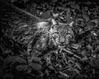 The Lynx Looking Up - Black & White Fine Art Print