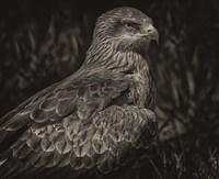 Predator Bird Sepia Fine Art Print