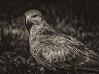 Predator Bird  II Sepia Fine Art Print