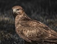 Predator Bird II Fine Art Print