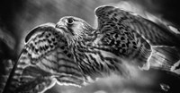 Predator Bird Spreading it's Wings - Black & White Fine Art Print