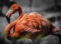 Flamingo - Black & White Fine Art Print