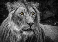The Lion - Black & White Fine Art Print