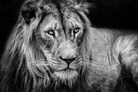 The Lion II - Black & White Fine Art Print